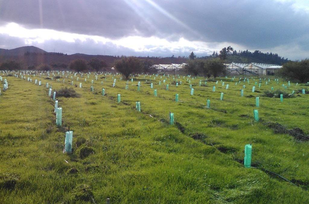 Reforestación compensatoria Embalse los Aromos